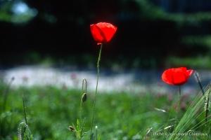 Fleurs__coquelicots-109