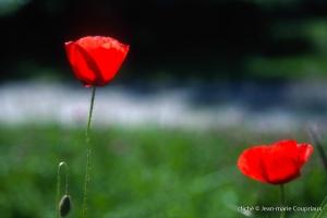 Fleurs__coquelicots-110