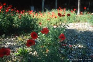 Fleurs__coquelicots-115