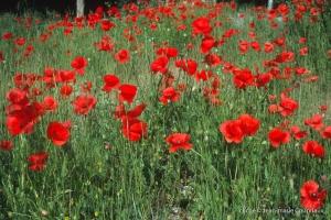 Fleurs__coquelicots-117