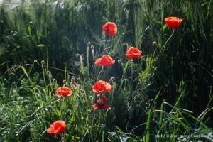 Fleurs__coquelicots-119