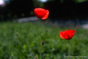 Fleurs__coquelicots-121