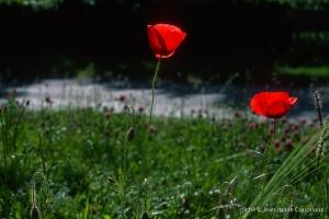 Fleurs__coquelicots-122