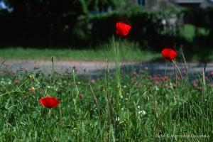 Fleurs__coquelicots-123