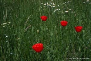 Fleurs__coquelicots-125