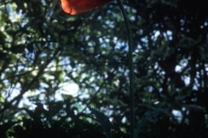 Fleurs__coquelicots-126