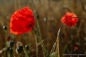 Fleurs__coquelicots-127