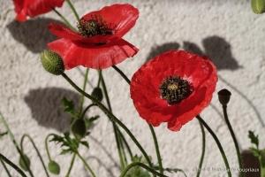 Fleurs__coquelicots-130