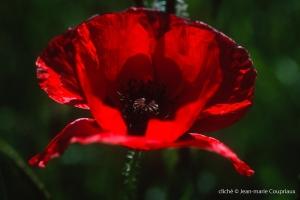 Fleurs__coquelicots-18