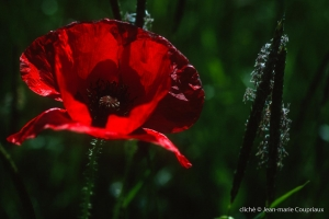 Fleurs__coquelicots-19