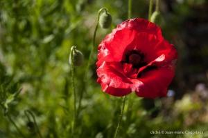 Fleurs__coquelicots-20
