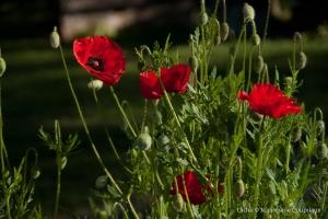 Fleurs__coquelicots-21