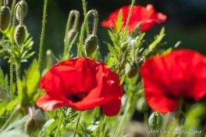 Fleurs__coquelicots-28