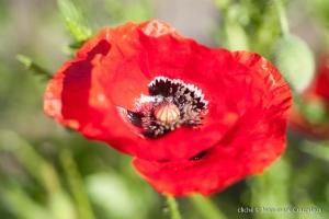 Fleurs__coquelicots-29
