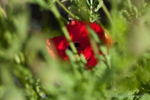 Fleurs__coquelicots-30
