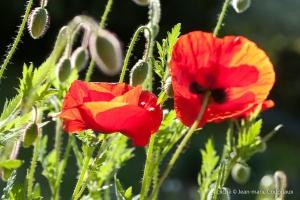 Fleurs__coquelicots-32