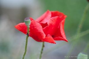 Fleurs__coquelicots-35