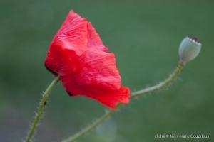 Fleurs__coquelicots-38