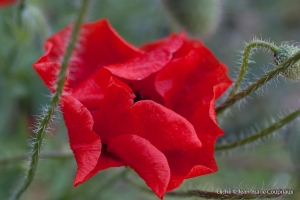 Fleurs__coquelicots-39