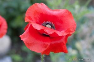 Fleurs__coquelicots-42