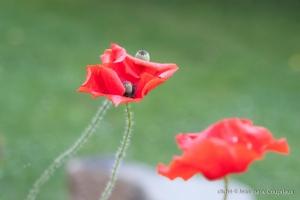 Fleurs__coquelicots-43