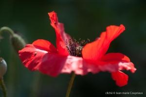 Fleurs__coquelicots-45