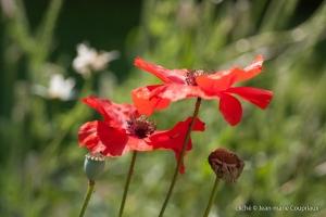 Fleurs__coquelicots-48