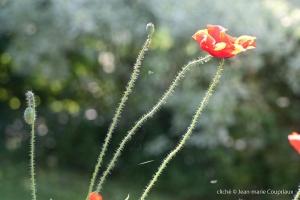 Fleurs__coquelicots-50