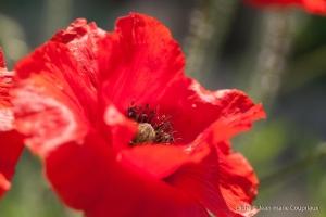 Fleurs__coquelicots-51