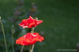 Fleurs__coquelicots-54