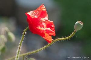 Fleurs__coquelicots-55