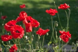 Fleurs__coquelicots-58