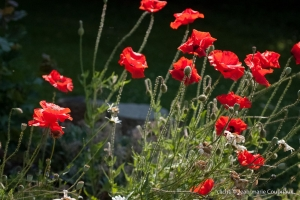 Fleurs__coquelicots-60
