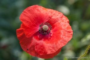 Fleurs__coquelicots-61