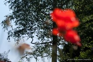 Fleurs__coquelicots-62