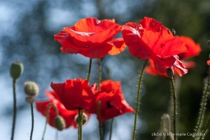 Fleurs__coquelicots-65