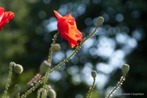 Fleurs__coquelicots-66
