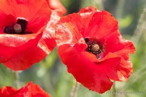 Fleurs__coquelicots-68