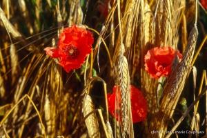 Fleurs__coquelicots-76