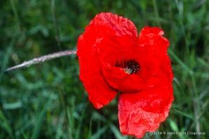 Fleurs__coquelicots-80