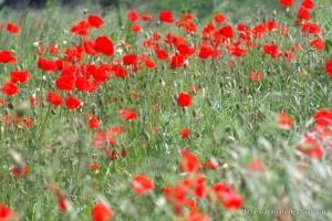 Fleurs__coquelicots-84