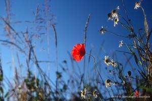 Fleurs__coquelicots-85