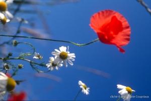 Fleurs__coquelicots-86
