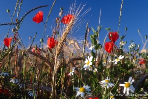 Fleurs__coquelicots-88