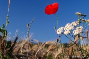 Fleurs__coquelicots-89