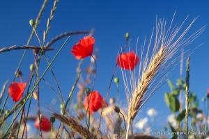 Fleurs__coquelicots-90