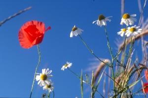 Fleurs__coquelicots-91