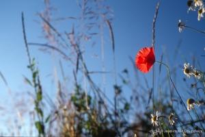 Fleurs__coquelicots-93