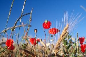 Fleurs__coquelicots-94