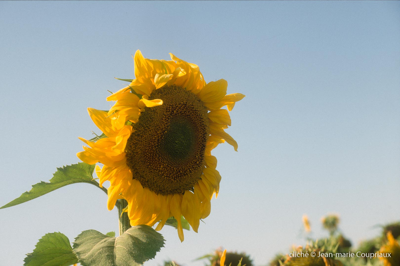nature_1993-tournesols-2